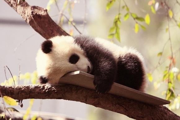 l-Sleepy-Panda